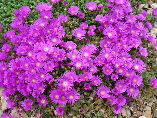 Purple ground cover with pink flowers round designs purple ground cover with pink flowers round designs mightylinksfo